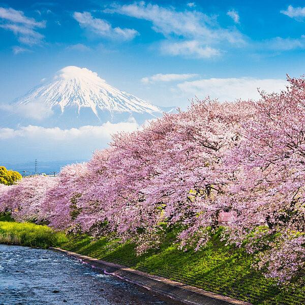 פריחת הדובדבן ביפן | צילום: shutterstock