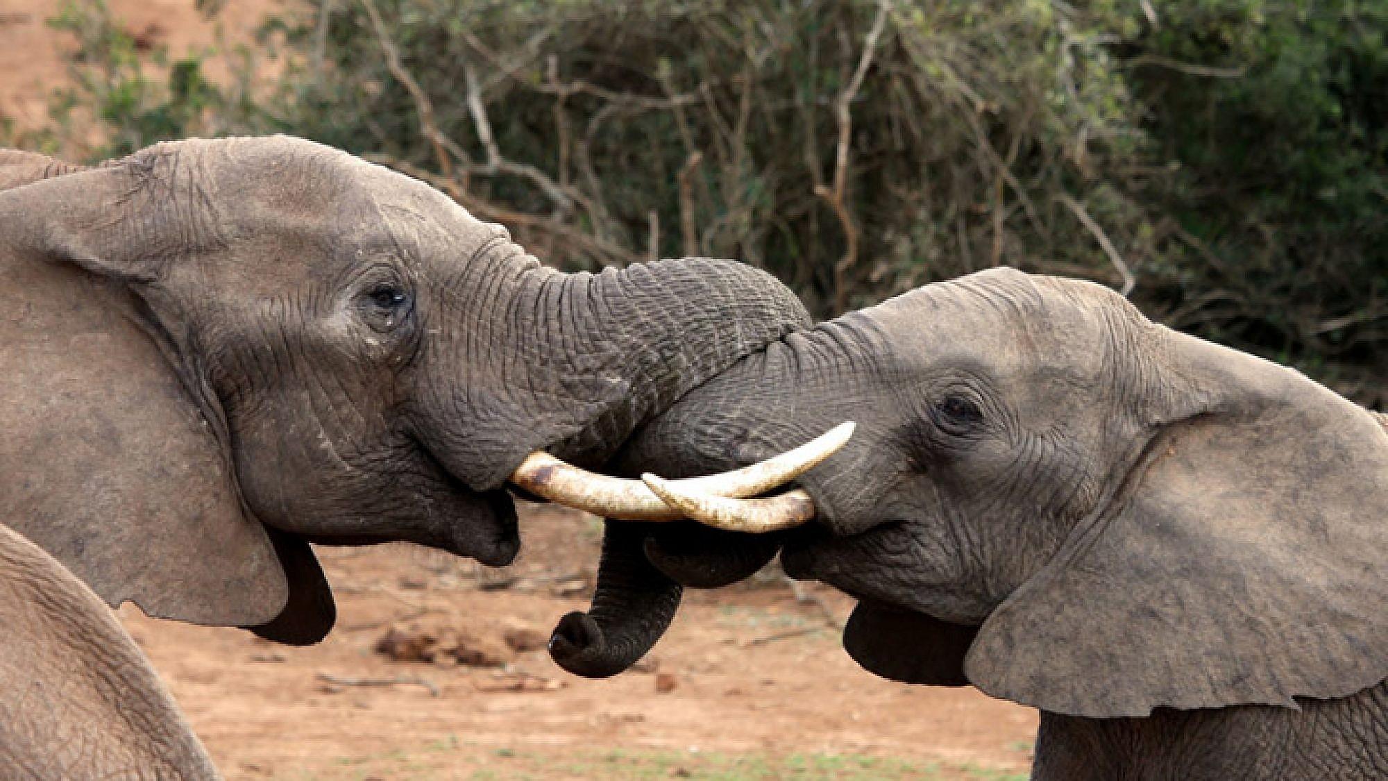 הפילים חיים בשמורה יחד עם חיפושיות זבל שניזונות מגלליהם | צלם: א.ס.א.פ קריאייטיב | Anke van Wyk, shutterstock