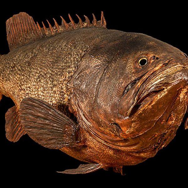 אחד הכוכבים של התערוכה הוא דג דקר משומר באורך שני מטרים | צילום באדיבות מוזיאון הטבע בלונדון
