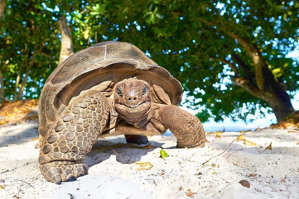 צב ים בסיישל   צילום: Shutterstock