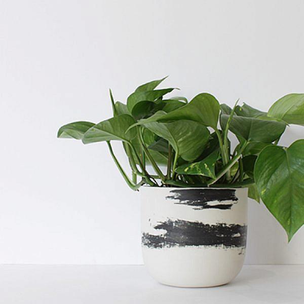 פוטוס זהוב, Devil's ivy, להשיג ב־We love plants מחיר 50 ש