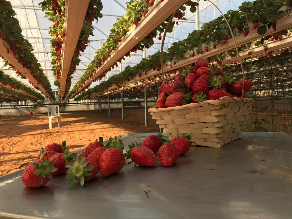 קטיף תותים במשק בגבעה | מתוך האתר של משק בגבעה