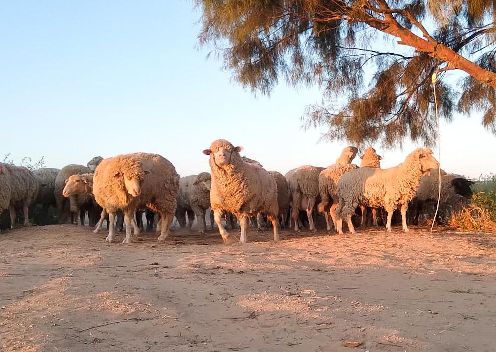 כבשים בפתחת ניצנה   צילום ניצן אלמוסנינו